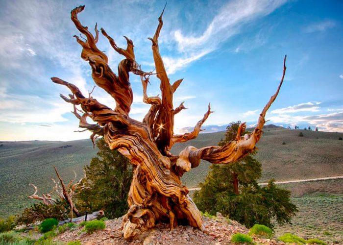 Árbol más viejo del mundo Pallars